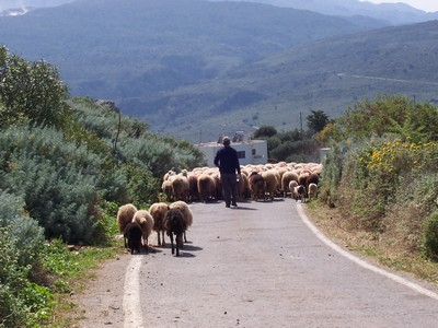 Country Lanes: sheepblocking road with shepherd