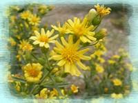 Aromatic Inula