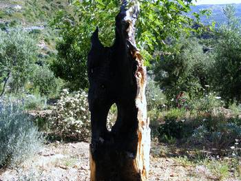 Burnt Olive Tree