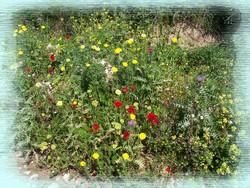 Flowers of Crete
