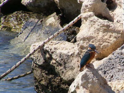 Birdlife: a Kingfisher on a rock, Kalyves Harbour