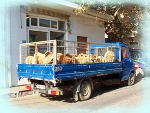 Fresh Lamb Arrives at the Butchers (sorry!)