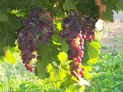 Bunches of grapes hanging from vines in the sun