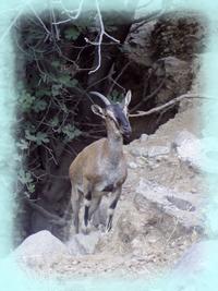The Kri Kri of Samaria